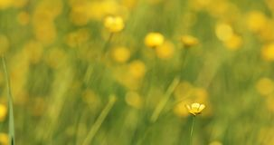 Wild yellow Ranunculus flower on meadow in spring breeze. Wild yellow Ranunculus flower in spring breeze, tranquil springtime countryside natural scene with stock footage