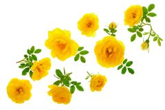 Wild yellow rose blooming flower isolated on a white background with copy space for your text. Top view. Flat lay Royalty Free Stock Image