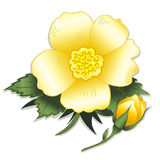 Wild Yellow Rose and Bud. Single blooming yellow rose and rose bud on white background (Rosa rugosa, Wild Rose Royalty Free Stock Photos
