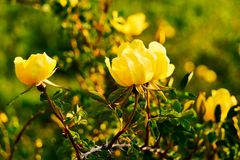 Wild yellow rose flower lit by the sun at sunset. Yellow rose flower lit by the sun at sunset. Wild rose with leaves on a background of mountains royalty free stock image
