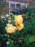 Wild Yellow Rose. In an overgrown rustic English garden setting Royalty Free Stock Photos