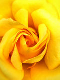 Wild yellow rouse Stock Images