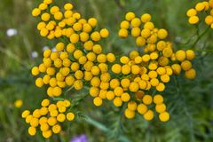 Wild yellow flowers in countryside. Royalty Free Stock Photos