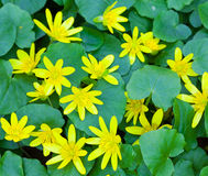 Wild yellow spring flowers Stock Photos