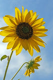 Wild yellow sunflower against blue sky. Close up Royalty Free Stock Photos