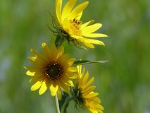 Wild Yellow Sunflowers with Blurred Green Background stock photos