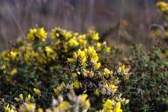 Wild yellow thorny flowers Stock Photography