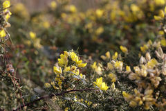 Wild yellow thorny flowers Stock Images