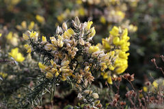 Wild yellow thorny flowers Stock Photography
