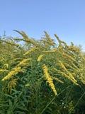 Wild yellows Stock Image