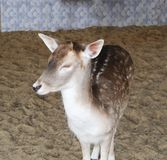 Wild yong beautiful deer in the zoo. royalty free stock photos