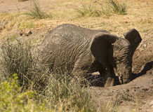 Wild young, african elephant playing in mud, Kruger National park, South Africa Royalty Free Stock Photos