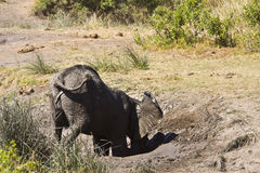 Wild young african elephant playing in mud, Kruger National park, South Africa Royalty Free Stock Images