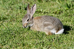Wild Young Conttontail Rabbit showing white tail Stock Photos