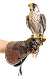 Wild young falcon on trainer glove isolated Stock Images