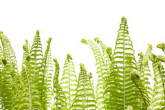 Wild young fern Stock Photo