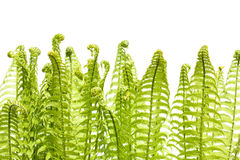 Wild young fern Royalty Free Stock Photography