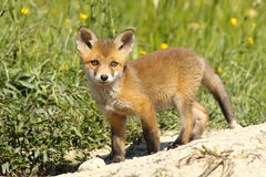 Wild young fox Royalty Free Stock Images