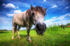 Wild young horse on the field Royalty Free Stock Photo