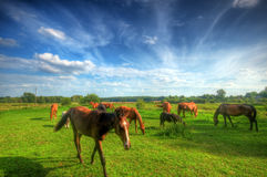 Wild young horse on the field Royalty Free Stock Image