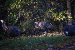 Wild Young Jake Turkey Royalty Free Stock Photography