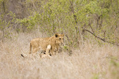 Wild young lions playing, Kruger national park, SOUTH AFRICA Stock Photos