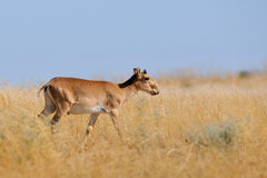 Wild young male Saiga antelope in Kalmykia steppe. Critically endangered wild Saiga antelope (Saiga tatarica, young male) in steppe. Federal nature reserve Royalty Free Stock Photography