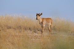 Wild young male Saiga antelope in Kalmykia steppe Stock Photo
