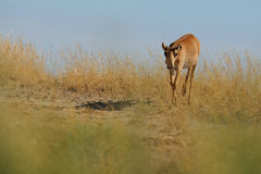 Wild young male Saiga antelope in Kalmykia steppe. Wild young male Saiga antelope (Saiga tatarica) in morning steppe. Federal nature reserve Mekletinskii Stock Images