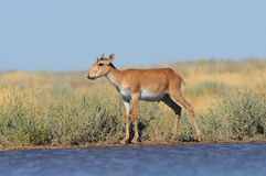 Wild young male Saiga antelope near watering in steppe. Critically endangered wild Saiga antelope (Saiga tatarica) near watering in steppe. Federal nature Royalty Free Stock Photography