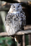 Wild young owl portrait Royalty Free Stock Photography