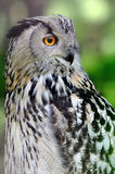 Wild young owl portrait Stock Photography