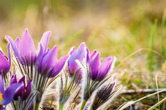 Wild Young Pasqueflower In Early Spring. Flowers Pulsatilla Patens Stock Photo