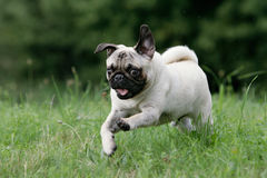 Wild young pug Stock Photo