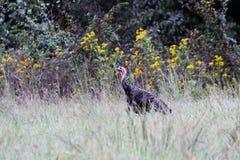 Wild Tom Turkey. Wild young tom turkey walking in talking grass near edge of woods stock image