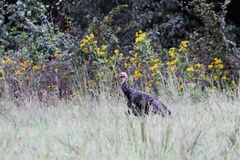 Wild Turkey Walking in Tall Grass. Wild young tom turkey walking in talking grass near edge of woods royalty free stock images