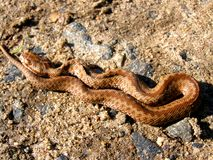 Wild young viper Royalty Free Stock Images