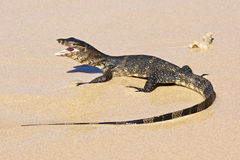 Wild young water monitor Stock Image