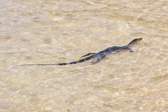 Wild young water monitor Royalty Free Stock Photo