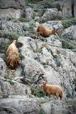wild yung för sheeps Arkivfoto