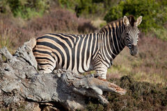 Wild zebra Royalty Free Stock Image