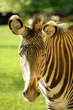 Wild Zebra Royalty Free Stock Photography