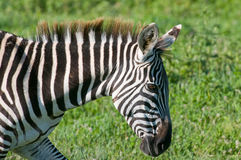 Wild zebra in africa Royalty Free Stock Image