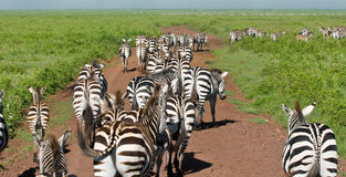 Wild zebra in africa Stock Images