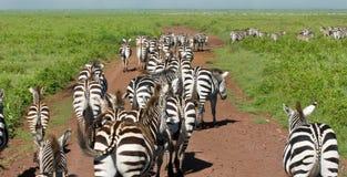 Wild zebra in africa. Zebra's walking on the road in Ngorongoro crater in Africa stock images