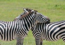 Wild zebra in africa Stock Image