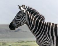 Wild zebra in Africa. Portrait of zebra while on African Safari Stock Photography