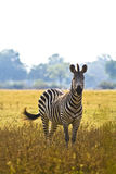 Wild Zebra. In an African flood plain Stock Photos