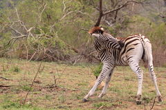 Wild zebra biting of insects royalty free stock photos