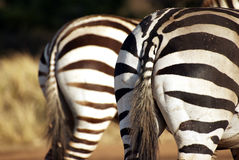 Wild zebra bottoms Stock Photo